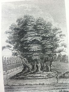 seven-sisters-trees