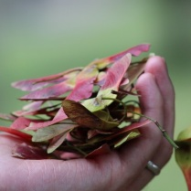 maple-seeds-red-hand