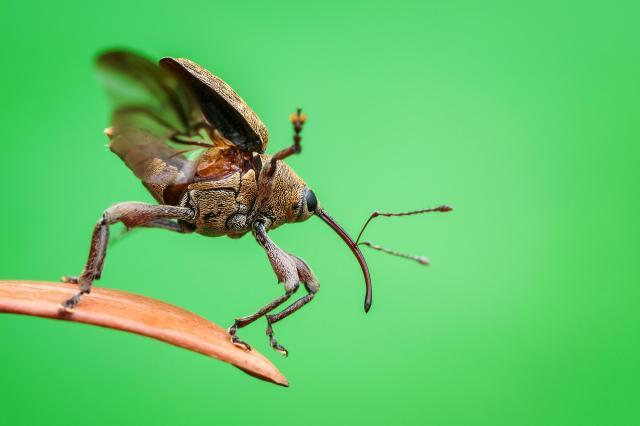 Acorn Weevil leaping off leaf
