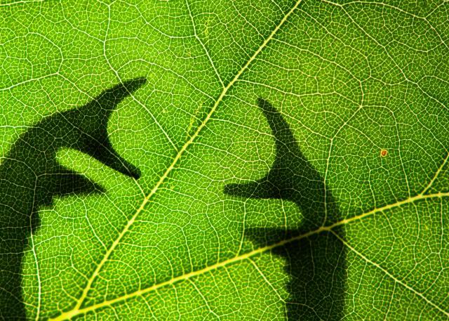 Stag beetle antlers behind a leaf