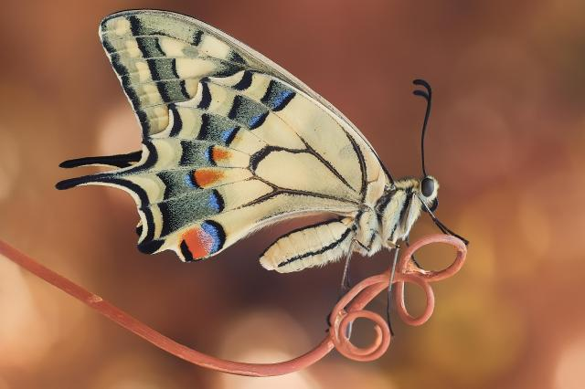Close-up of swallowtail butterfly