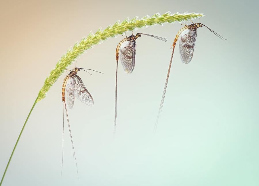 three mayflies on grass