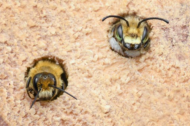 a mining bee and a leaf-cutter bee emerging from a bee hotel
