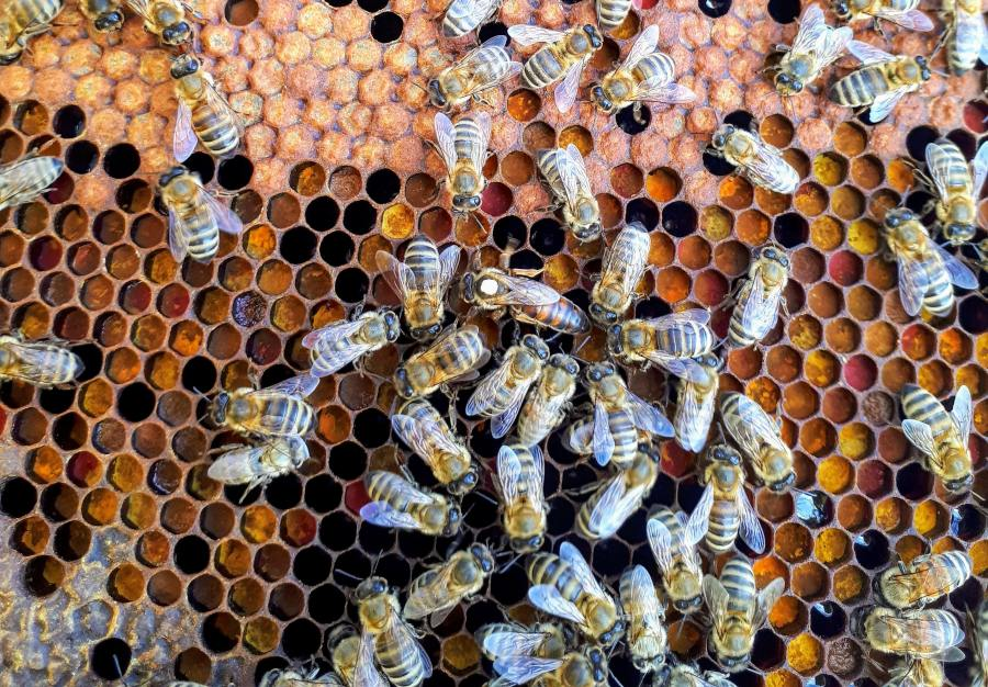honey bees on a honeycomb in a hive