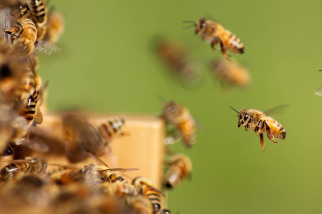 honey bees returning to hive