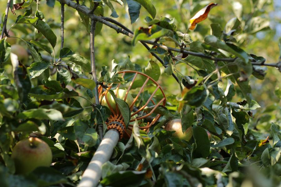 picking apple off tree with apple picker in orchard