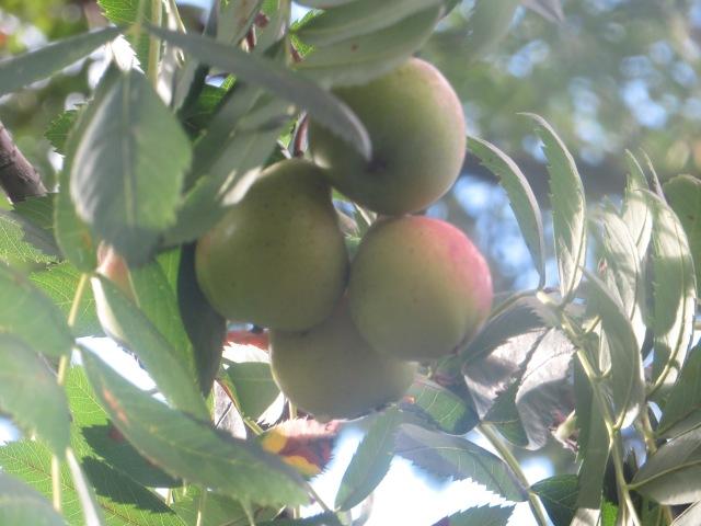pear like fruit on a rare tree