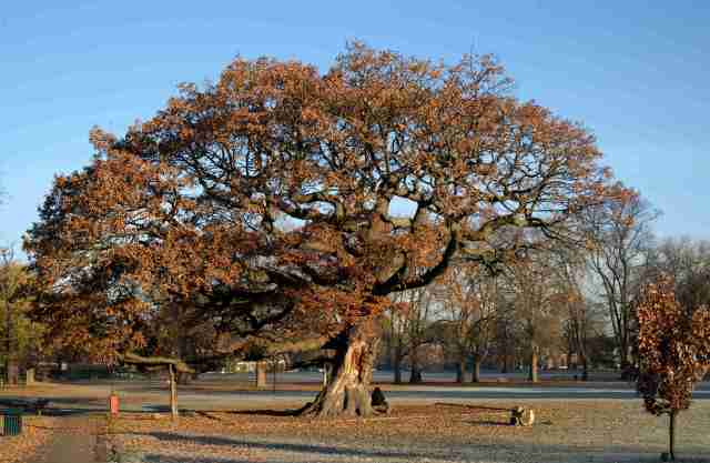 An ancient oak tree in a park