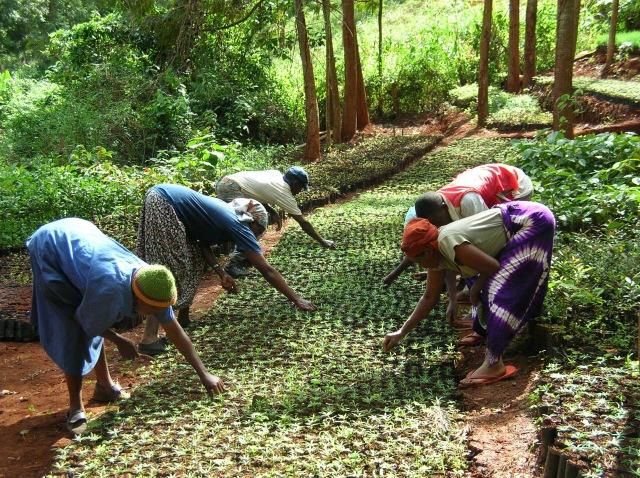 People tending tree seedlings in Kenya