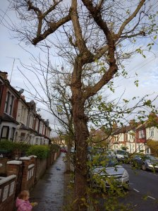 box elder tree in winter on street