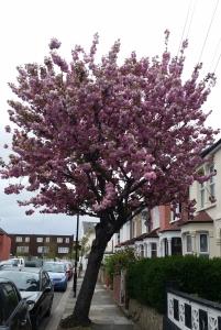 cherry blossom street tree