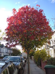 rowan tree on street with red autumnal leaves