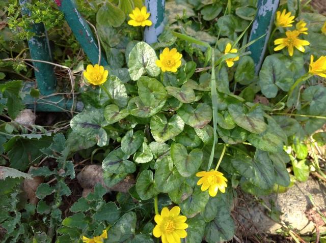 Lesser celandine flowers under railings
