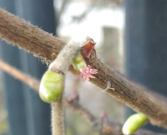 hazel flower on bud