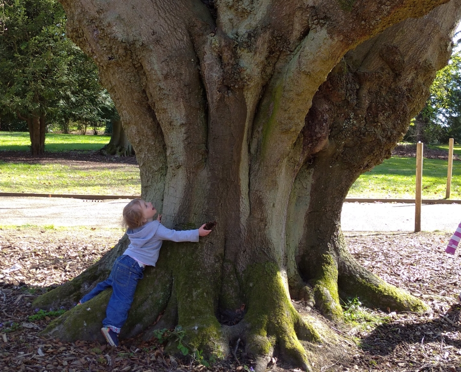 Toddler hugging an ancient beech tree