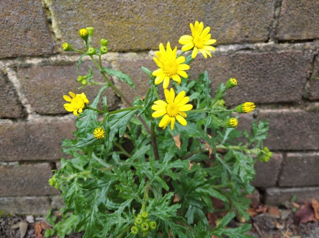 Oxford Ragwort pavement weed