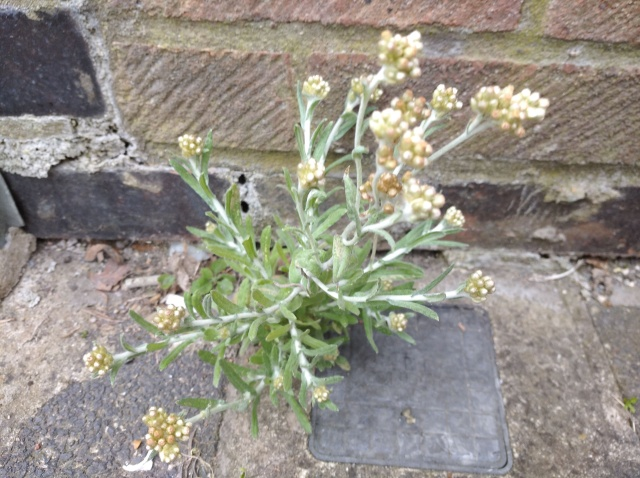 Jersey Cudweed on London pavement