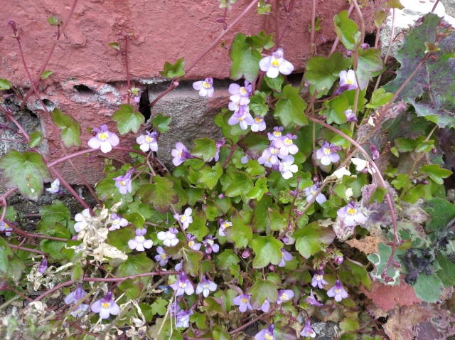 Ivy-leaved Toadflax on wall
