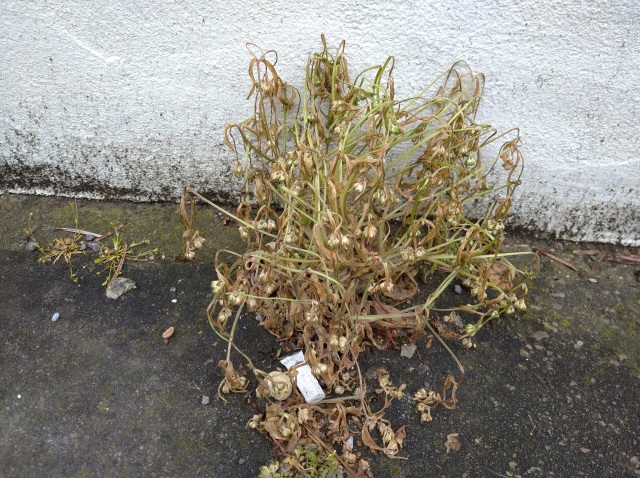 Dead roadside weed