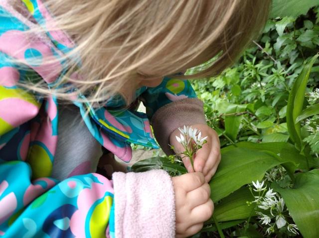 toddler picking ramsons