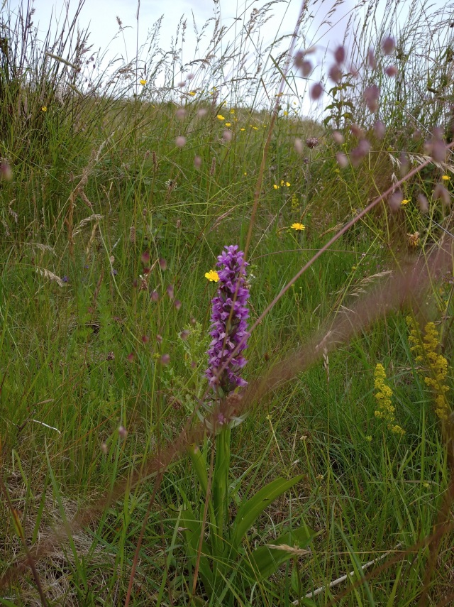 Broad Leaved Orchid