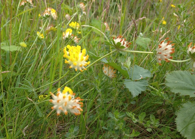 kidney vetch wildflowers
