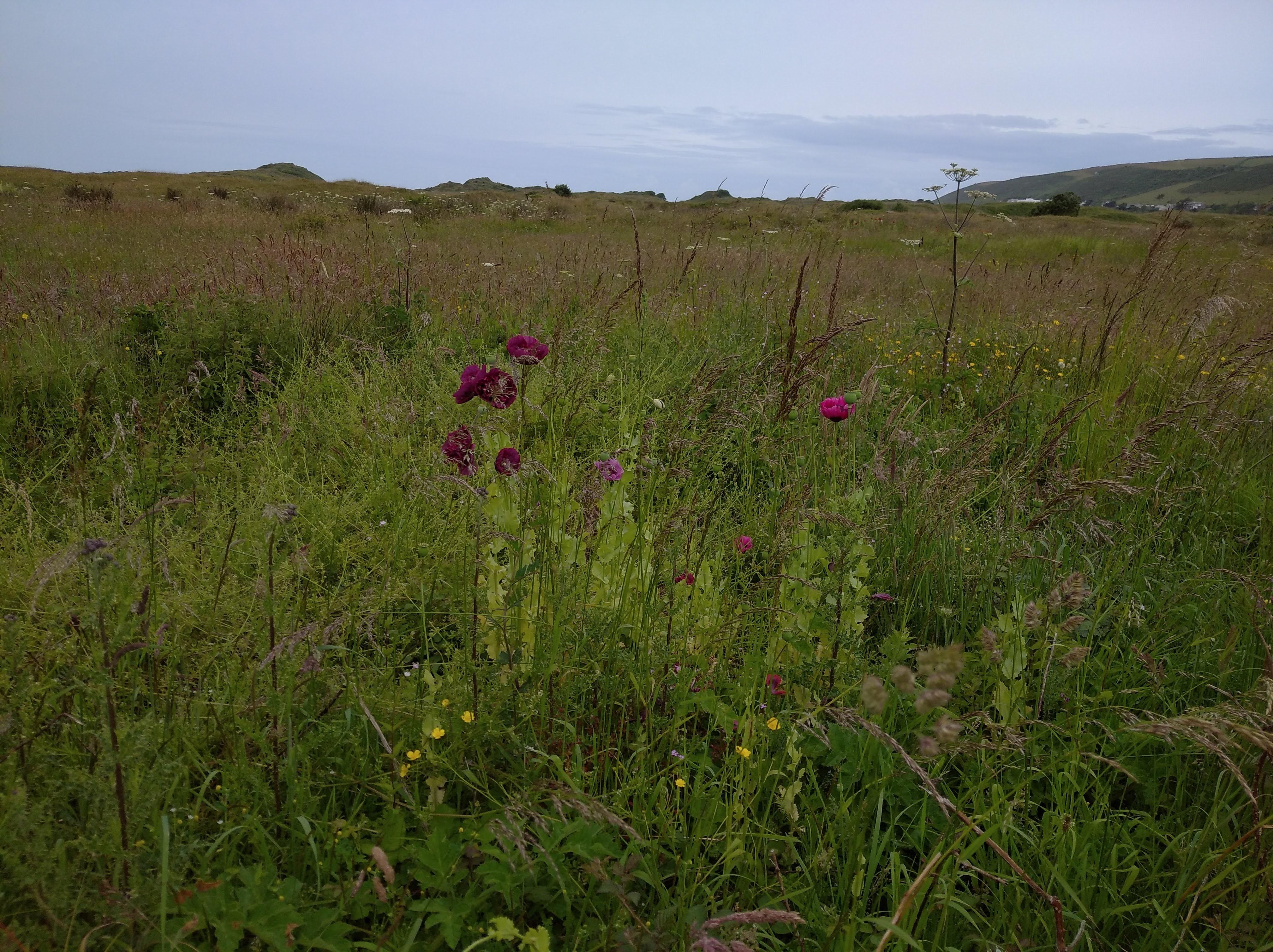 field of opium poppies